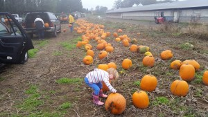 A young volunteer helps decide on the best pumpkins for loading
