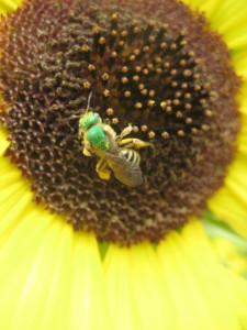 Not all bees are yellow and black - this species of sweat bee is a beautiful metallic green. Photo by Hillary Jensen.